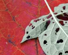 Leaf 10