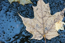 Rainy Leaf 5